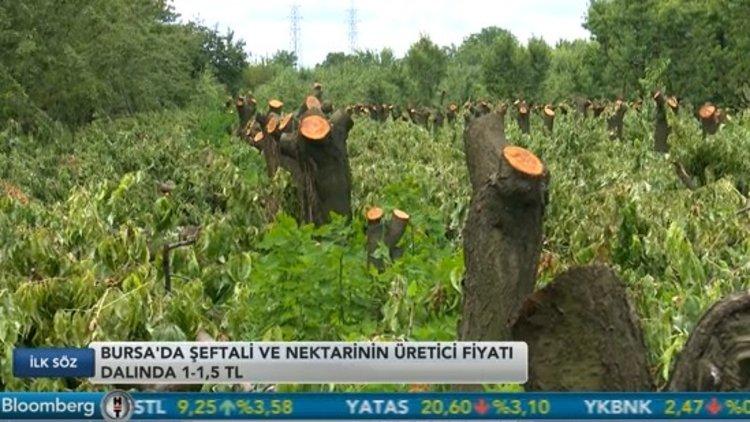 Üretici şeftali ve nektarin ağaçlarını kesiyor