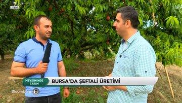 Mevsiminde Tarım - Bursa Şeftali Hasadı
