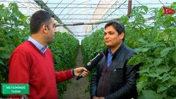 Tohumdan fideye domatesin seradaki bombus arılı üretimi