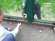 Şempanze'nin kaçış planı