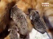 Kirpilere annelik eden kedi