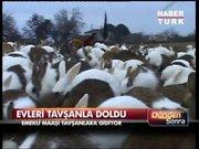 4 tavşan oldu 400 tavşan