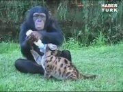 Bu şempanze herkesin ilgisini çekiyor