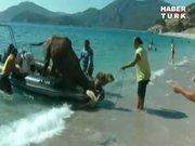 Firar eden deve böyle kurtarıldı