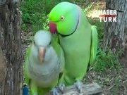 Kur yapan papağan güldürüyor