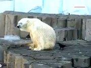 Kutup ayısına sataşan karga