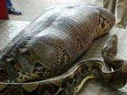 Piton yılanı sarhoş adamı yuttu