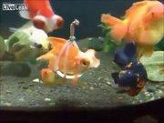 Engel tanımayan balık!
