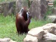 Orangutan herkesi şaşırttı!