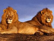 Aslanların 'kardeş' intikamı!