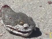Yılanın kafası koptu ama!