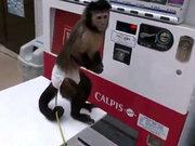 Otomattan içecek alan maymun