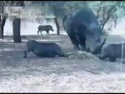 Gergedan domuzu havaya fırlattı
