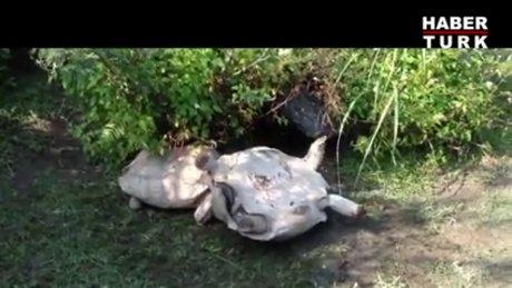 Ters dönen arkadaşına yardım eden kaplumbağa