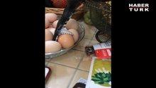 Bu yılan yumurta yemeye çalışıyor!