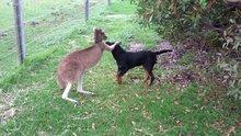 Arkadaşım kanguru