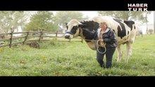 İşte dünyanın en uzun ineği