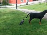 Köpeği korkutan karga