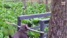 Köpeğin sopa aşkına köprü engel olamadı