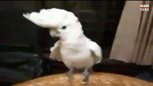 Dans eden sevimli papağan