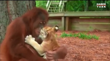 Kaplanlara annelik yapan orangutan