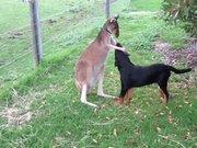 Kangurunun arkadaşı