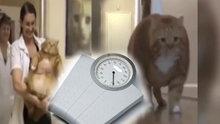 Egzersizle kilo veren kedi