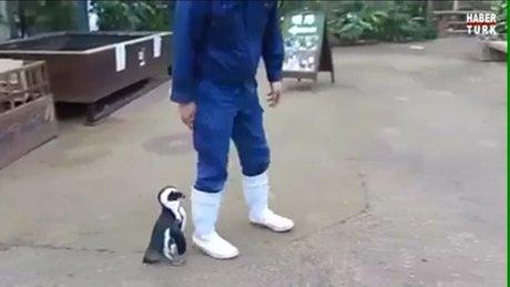Bakıcısını annesi zanneden yavru penguen