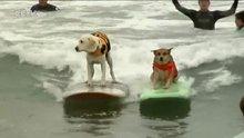 Köpek sörfü