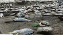 Siyanür patlaması sonrası binlerce balık öldü