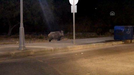Bodrum'da yaban domuzları şehir merkezine indi