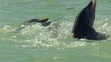 Yunusların balık yakalama hilesi