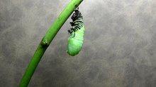 Bir tırtılın kelebeğe evrilmesi