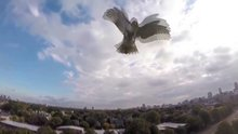 Drone'lara kafa tutan hayvanlar