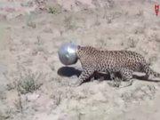 Leopar su içmeye kalkışınca, bakın en oldu