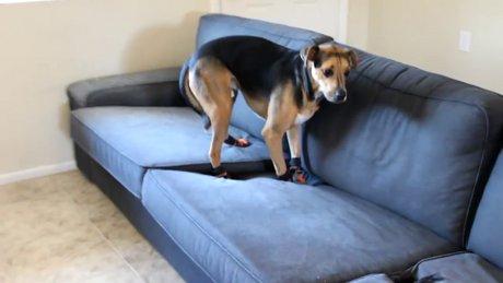 Giydirilen ayakkabılardan hoşnut olmayan köpek