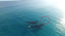 Balinalarla sörf
