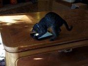 Kedinin tablet aşkı