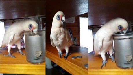 Kumbaraya sinirlenen papağan