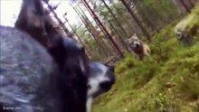 Bir kurt nasıl saldırır?