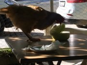 Hırsız tavuk kamerada