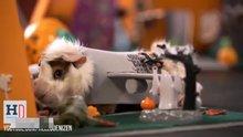 Hamsterlara özel cadılar bayramı
