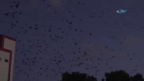 Kargalar gökyüzünü kapladı