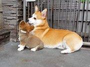 Yavrusuna oturmayı öğreten anne köpek