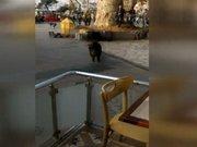 Beykoz'da domuz paniği kamerada