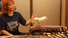 Papağanın kuğu dansı