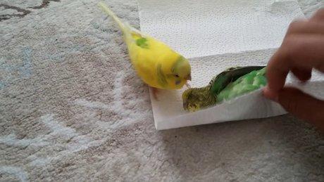 Muhabbet kuşu ölen eşini bırakmadı