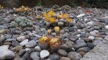 Taşlar çiçek açtı