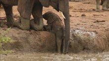 Çamura düşen yavruyu kurtaran baba fil