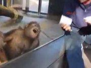 Gülme krizine giren orangutan